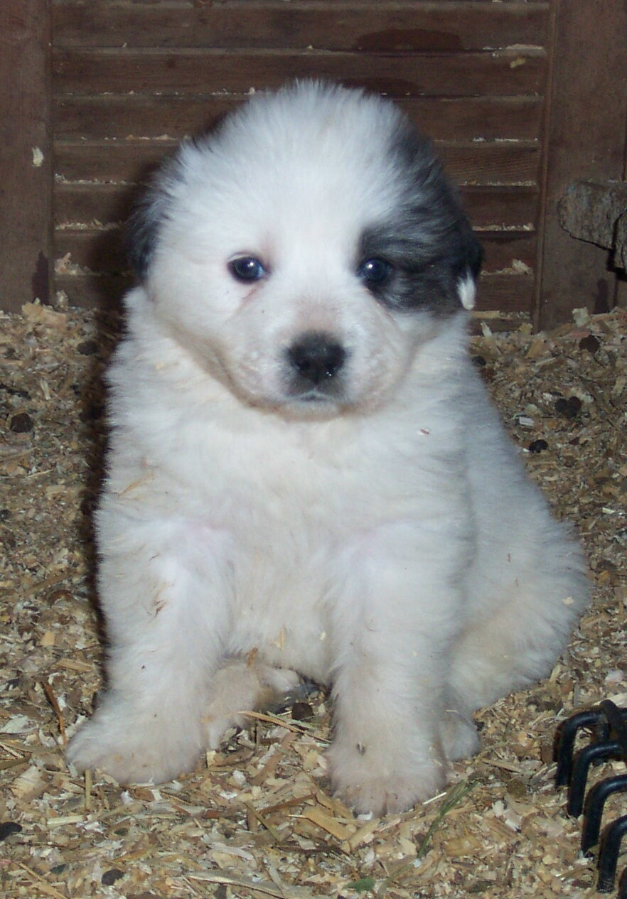 Great Pyrenees Popular Guard Dogs